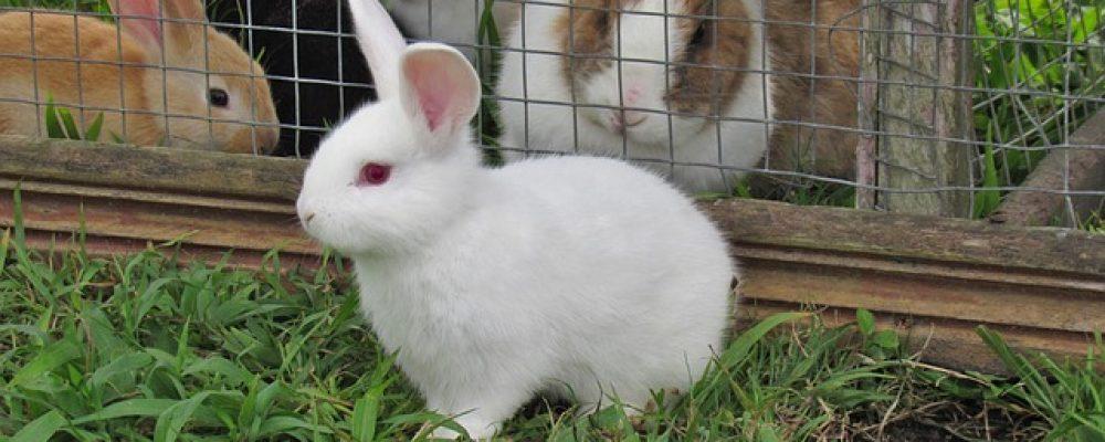 Ou trouver un grand modèle de cage pour votre lapin ?